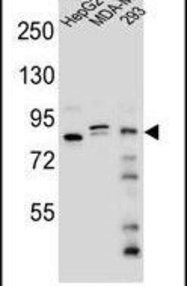 KIAA1310 Rabbit anti-Human, Polyclonal, Invitrogen 400 µL; Unconjugated