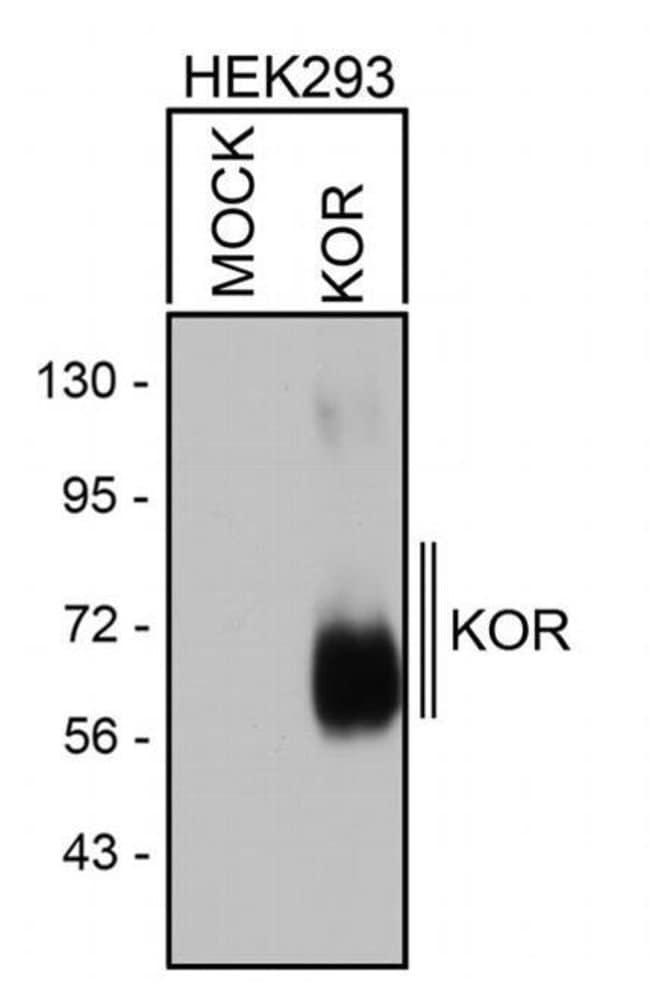 OPRK1 Rabbit anti-Human, Polyclonal, Invitrogen 100 µL; Unconjugated