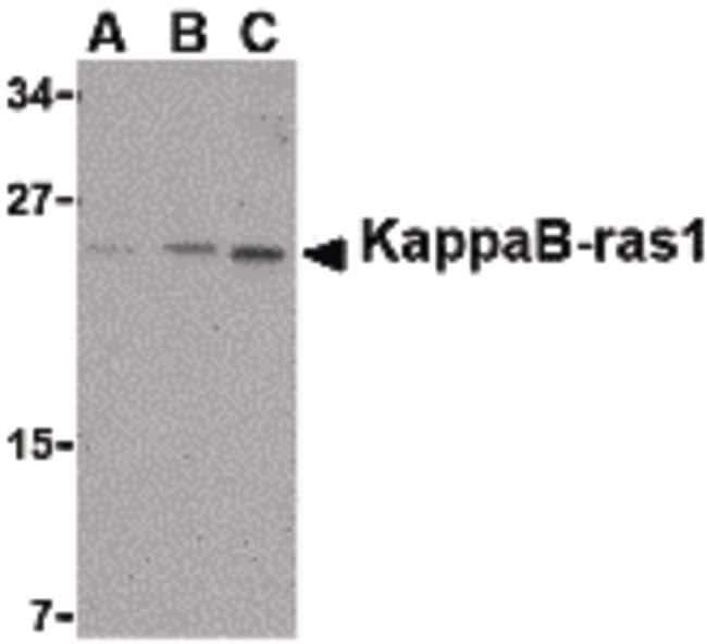 KappaB ras1 Rabbit anti-Human, Mouse, Polyclonal, Invitrogen 100 µg;