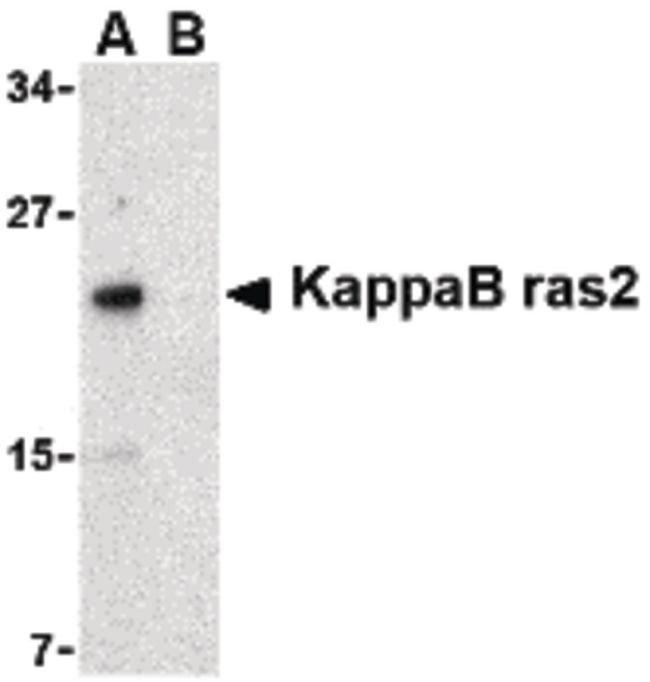 KappaB ras2 Rabbit anti-Human, Mouse, Rat, Polyclonal, Invitrogen 100 µg;