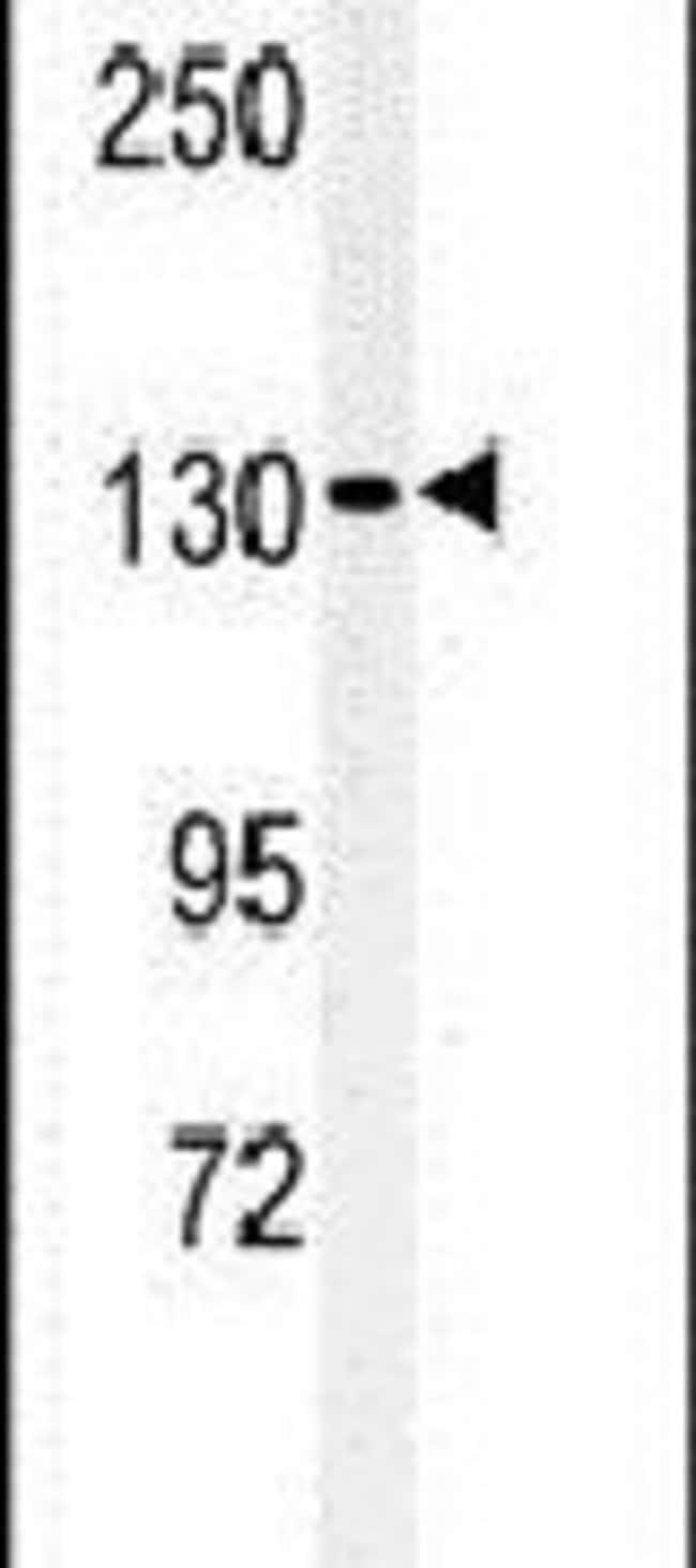 L1TD1 Rabbit anti-Human, Polyclonal, Invitrogen 400 µL; Unconjugated
