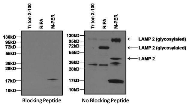 LAMP2 Rabbit anti-Human, Mouse, Rat, Polyclonal, Invitrogen 100 µL;