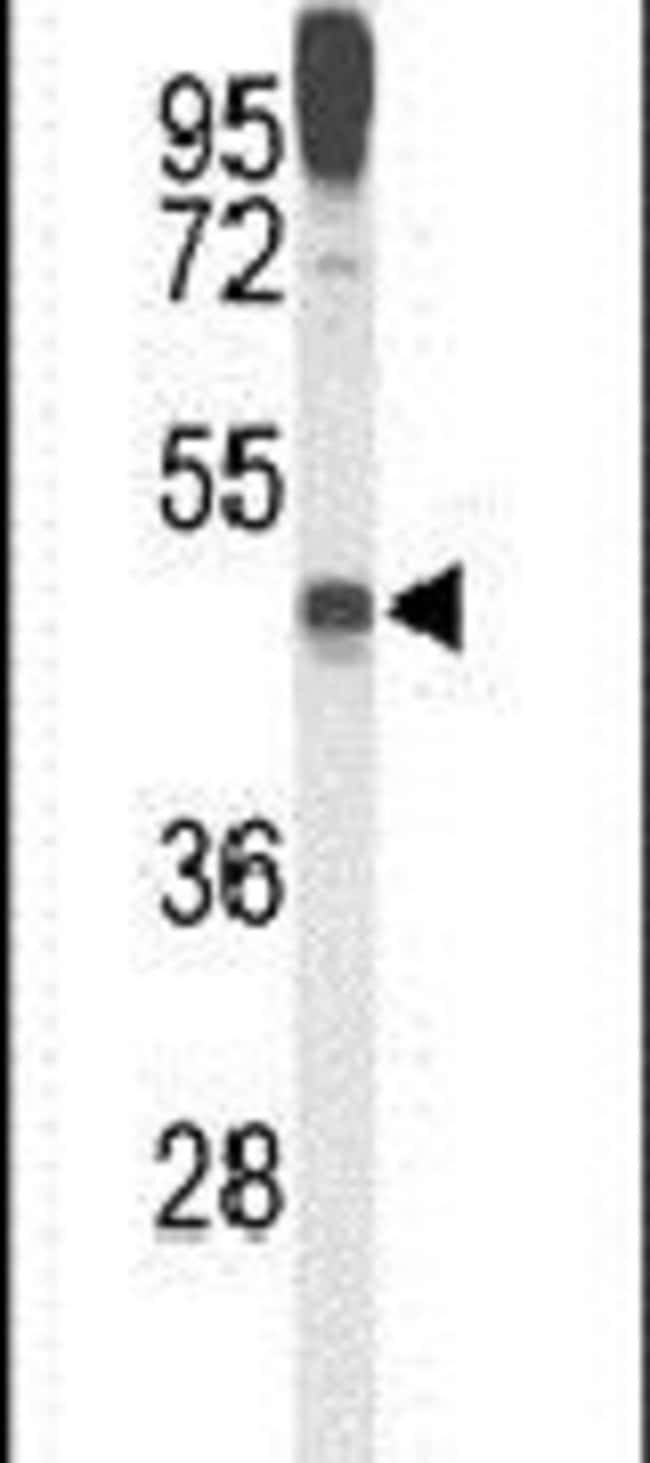 LAMP2 Rabbit anti-Human, Polyclonal, Invitrogen 400 µL; Unconjugated