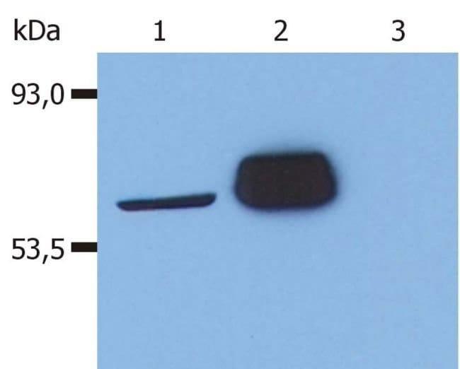 LCK Mouse anti-Human, Clone: LCK-01, Invitrogen 100 μg; Unconjugated:Antibodies