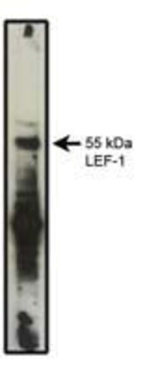 LEF1 Mouse anti-Human, Mouse, Clone: REMB1, Invitrogen 100 μg; Unconjugated:Antibodies