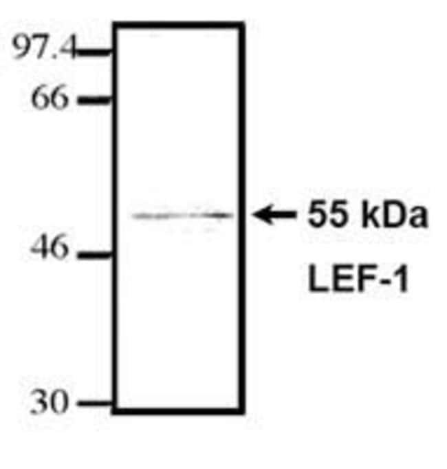 LEF1 Mouse anti-Human, Mouse, Clone: REMB6, Invitrogen 100 μg; Unconjugated:Antibodies