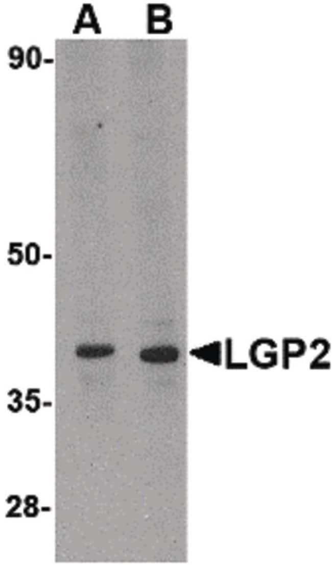 LGP2 Rabbit anti-Human, Mouse, Rat, Polyclonal, Invitrogen 100 µg;
