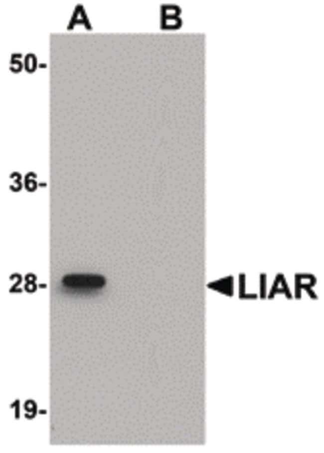 LIAR Rabbit anti-Human, Mouse, Rat, Polyclonal, Invitrogen 100 µg;