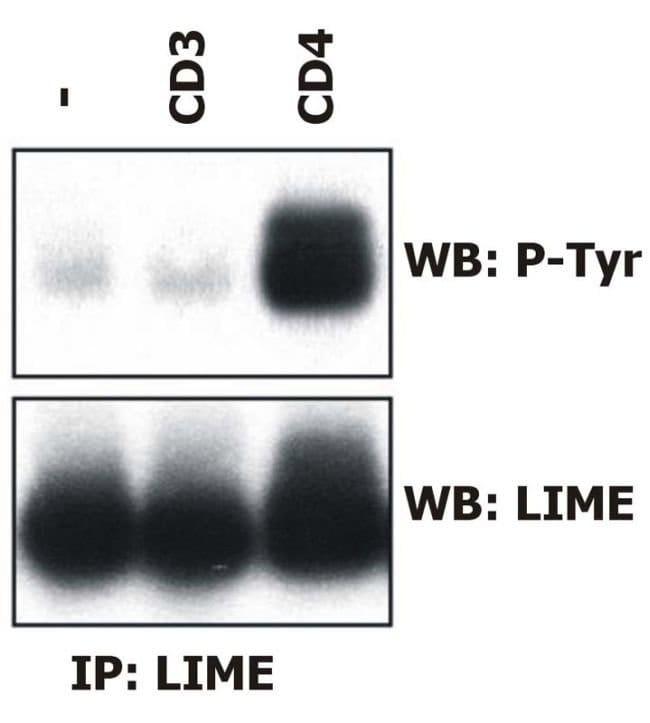 LIME Mouse anti-Human, Clone: LIME-06, Invitrogen 100 µg; Unconjugated