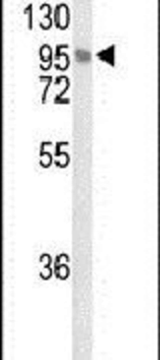 LINGO1 Rabbit anti-Human, Mouse, Polyclonal, Invitrogen 400 µL; Unconjugated