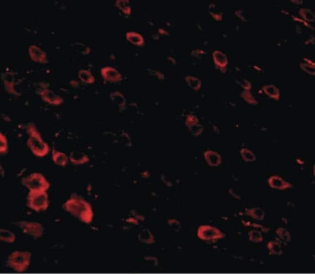 LRFN3 Rabbit anti-Human, Mouse, Rat, Polyclonal, Invitrogen 100 µg;