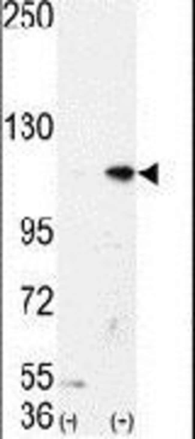 LSD1 Rabbit anti-Human, Mouse, Polyclonal, Invitrogen 400 µL; Unconjugated