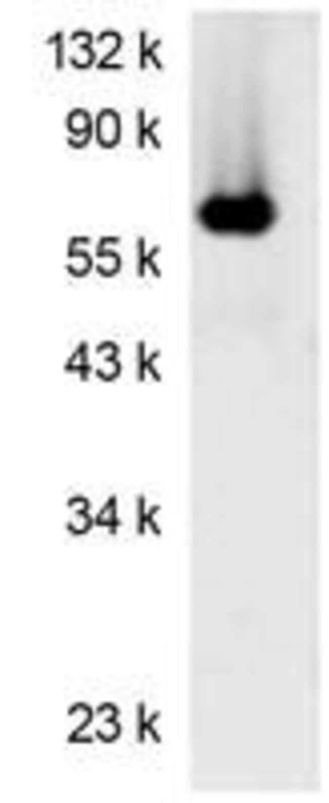 Firefly luciferase Mouse anti-Luciferase, Clone: Luci17, Invitrogen 100