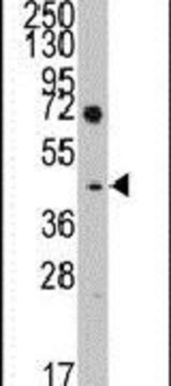 LEFTY Rabbit anti-Human, Polyclonal, Invitrogen 400 µL; Unconjugated
