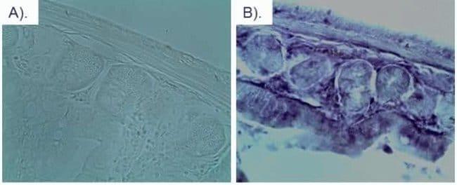 mCherry Rat anti-Tag, Clone: 16D7, Invitrogen™ 100 μL; Unconjugated Primary Antibodies Mc to Me