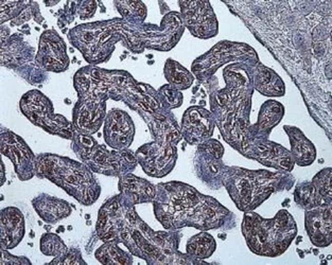 HIF1A Mouse anti-Bovine, Canine, Human, Mouse, Rat, Clone: ESEE122, Invitrogen