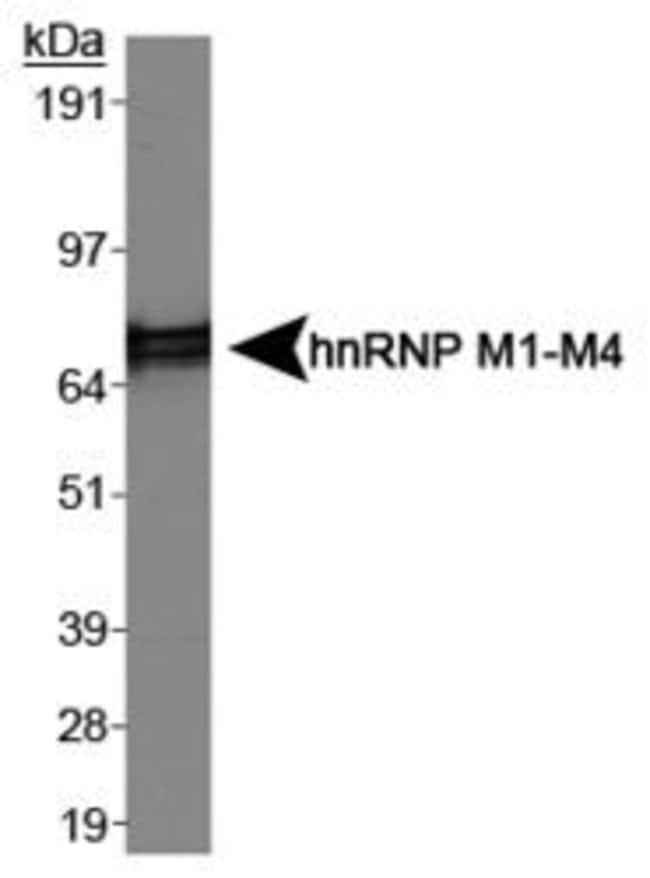hnRNP M1-M4 Mouse anti-Bovine, Human, Mouse, Porcine, Rabbit, Rat, Clone: