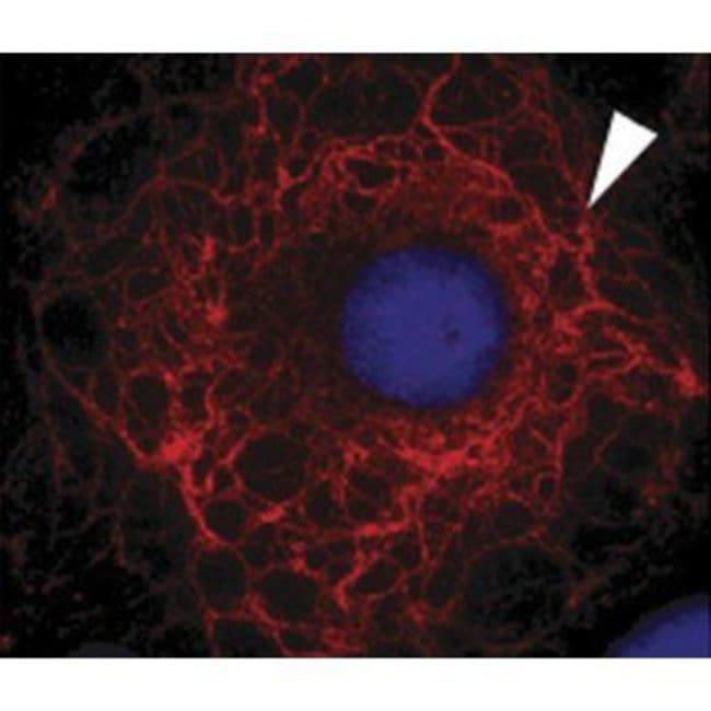 Cytokeratin 3 Mouse anti-Bovine, Human, Rabbit, Clone: AE5, Invitrogen
