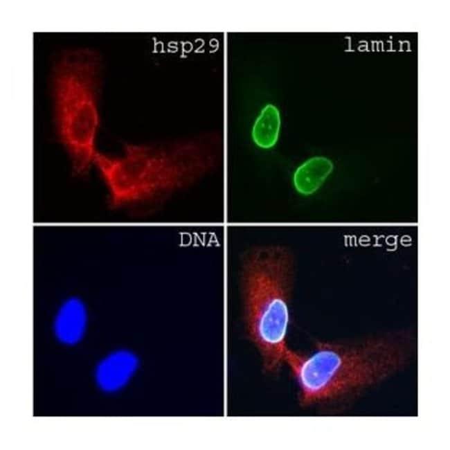 Lamin A/C Mouse anti-Human, Mouse, Rat, Clone: Jol3, Invitrogen 1 mL; Unconjugated