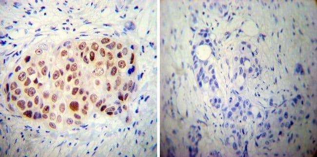 AP2 alpha Mouse anti-Chicken, Human, Mouse, Clone: 3B5, Invitrogen 100