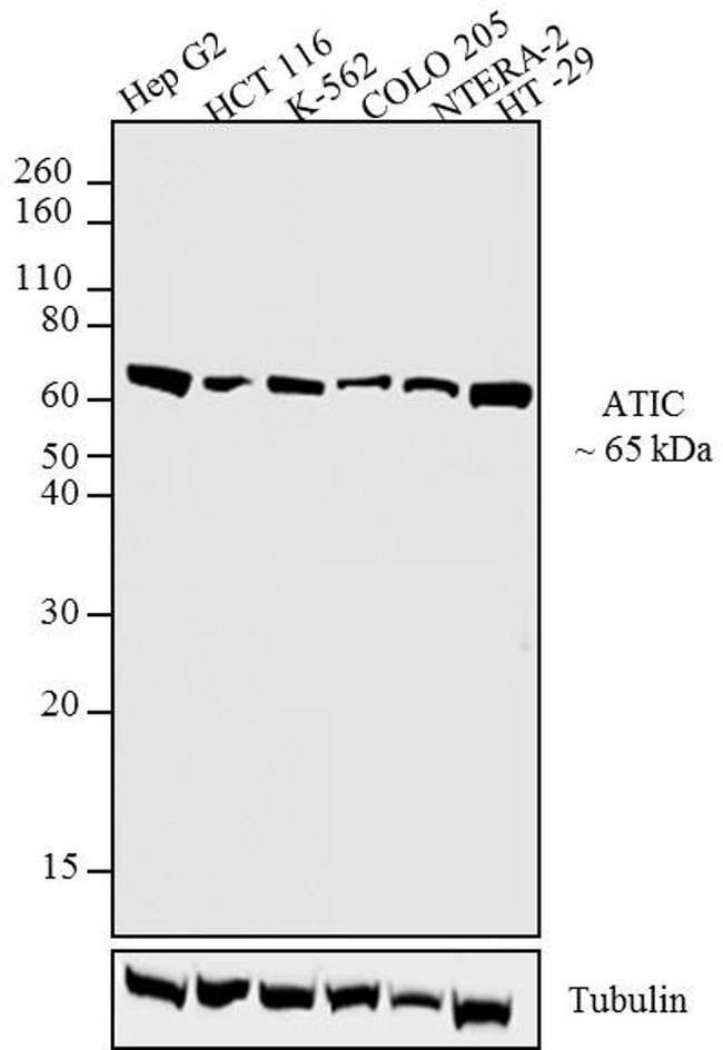 ATIC Mouse anti-Drosophila, Human, Mouse, Rat, Xenopus laevis, Clone: F38