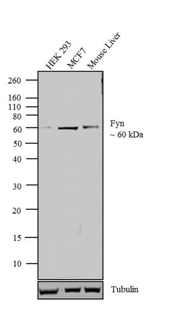 Fyn Mouse anti-Human, Mouse, Rat, Clone: 1S, Invitrogen 100μL; Unconjugated:Antibodies
