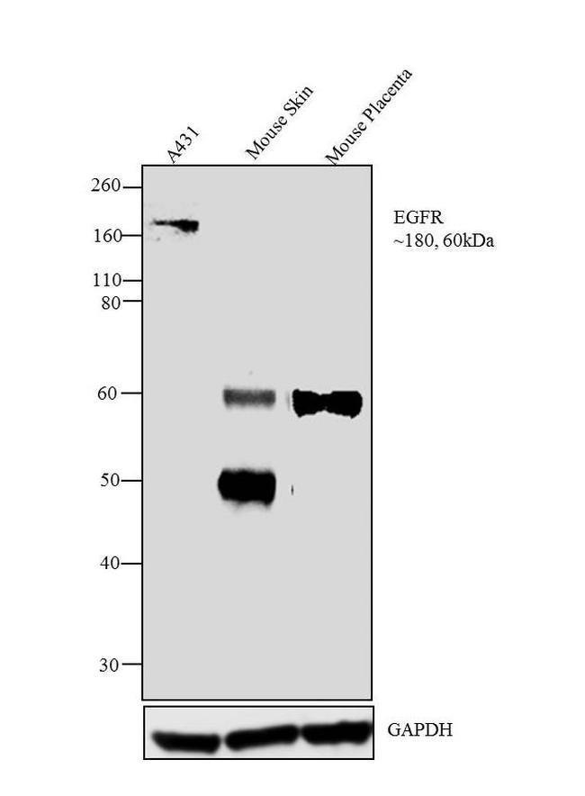 EGFR Mouse anti-Human, Mouse, Clone: H11, Invitrogen 100 μg; Unconjugated:Antibodies