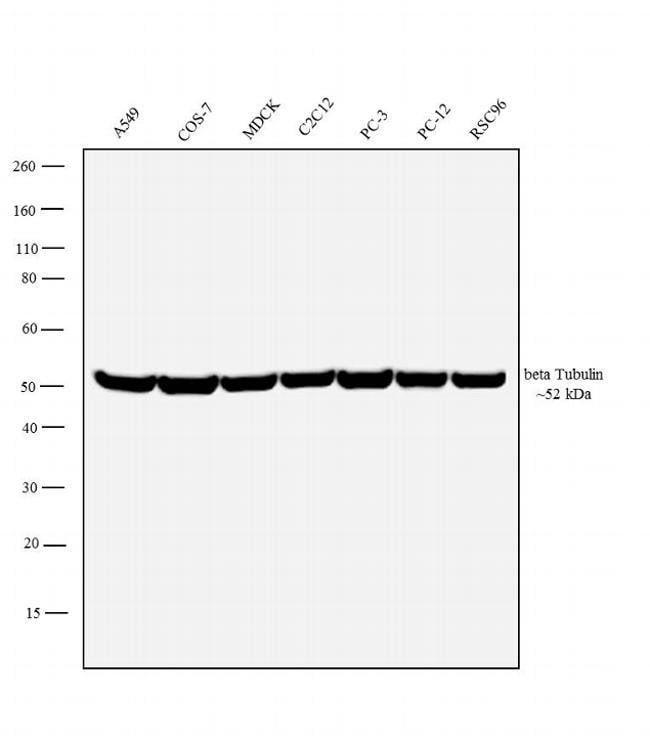 beta Tubulin Mouse anti-Many, Clone: TU-06, Invitrogen 100 μg; Unconjugated:Antibodies