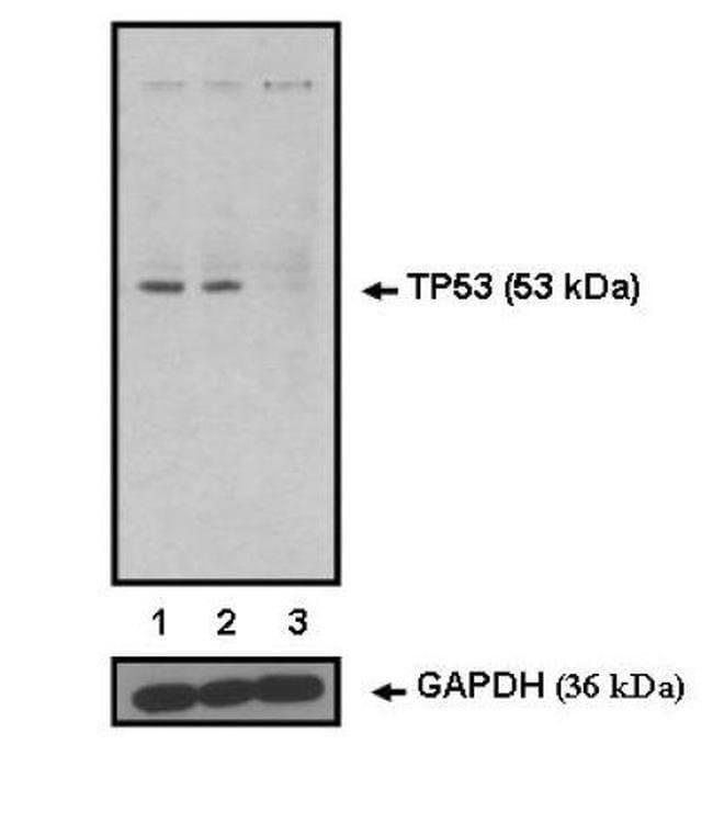 p53 Mouse anti-Human, Non-human primate, Clone: BP53-12, Invitrogen 100