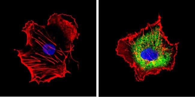 CYP1A2 Mouse anti-Human, Non-human primate, Clone: 3B8C1, Invitrogen 100