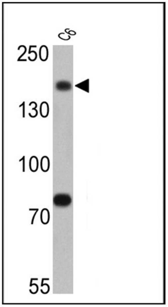 Synaptojanin 1 Mouse anti-Human, Rat, Clone: AC1, Invitrogen 100 µL;