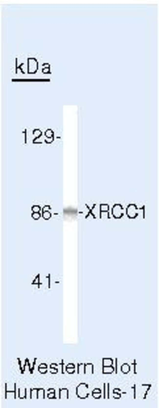 XRCC1 Mouse anti-Human, Clone: 144, Invitrogen 100μL; Unconjugated:Antibodies