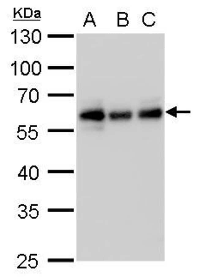 CALCOCO2 Mouse anti-Human, Clone: P1813, Invitrogen 100 µL; Unconjugated