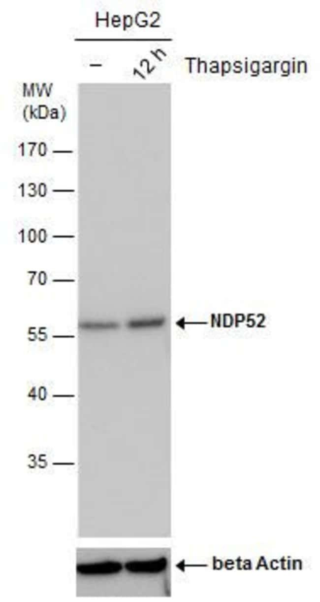 CALCOCO2 Mouse anti-Human, Clone: P422, Invitrogen 100 µL; Unconjugated