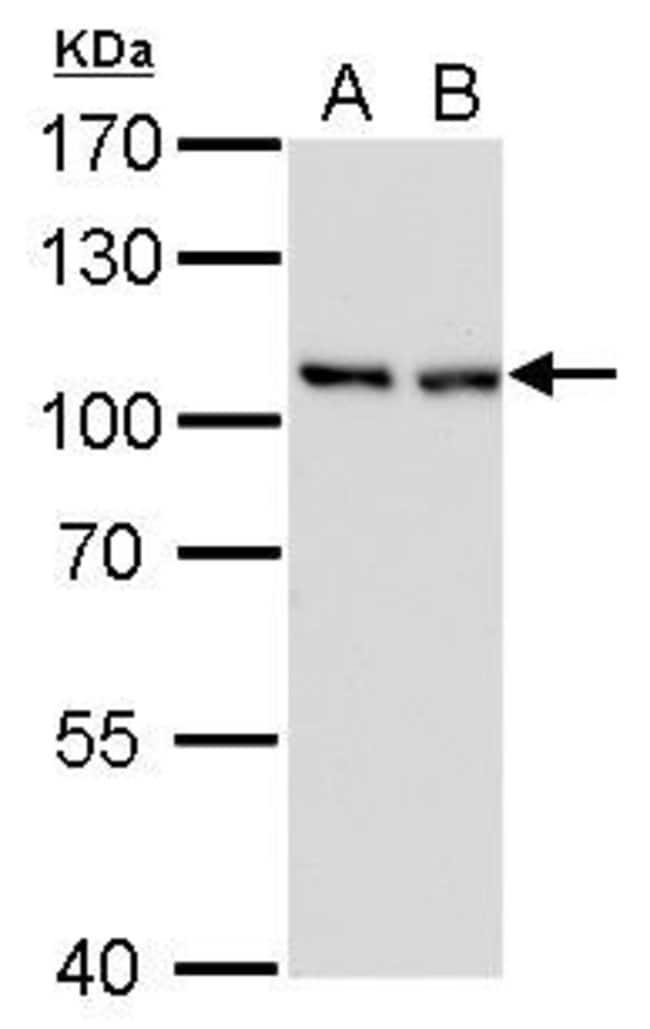 CAS Mouse anti-Human, Mouse, Rat, Clone: P729, Invitrogen 100 µL;