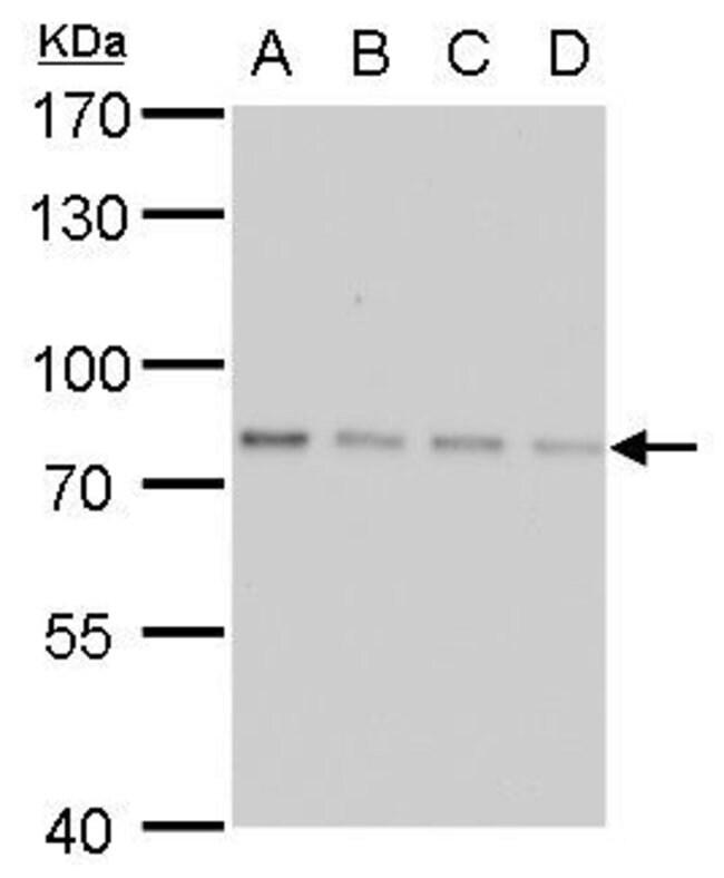 SLU7 Mouse anti-Human, Clone: P759, Invitrogen 100 µL; Unconjugated