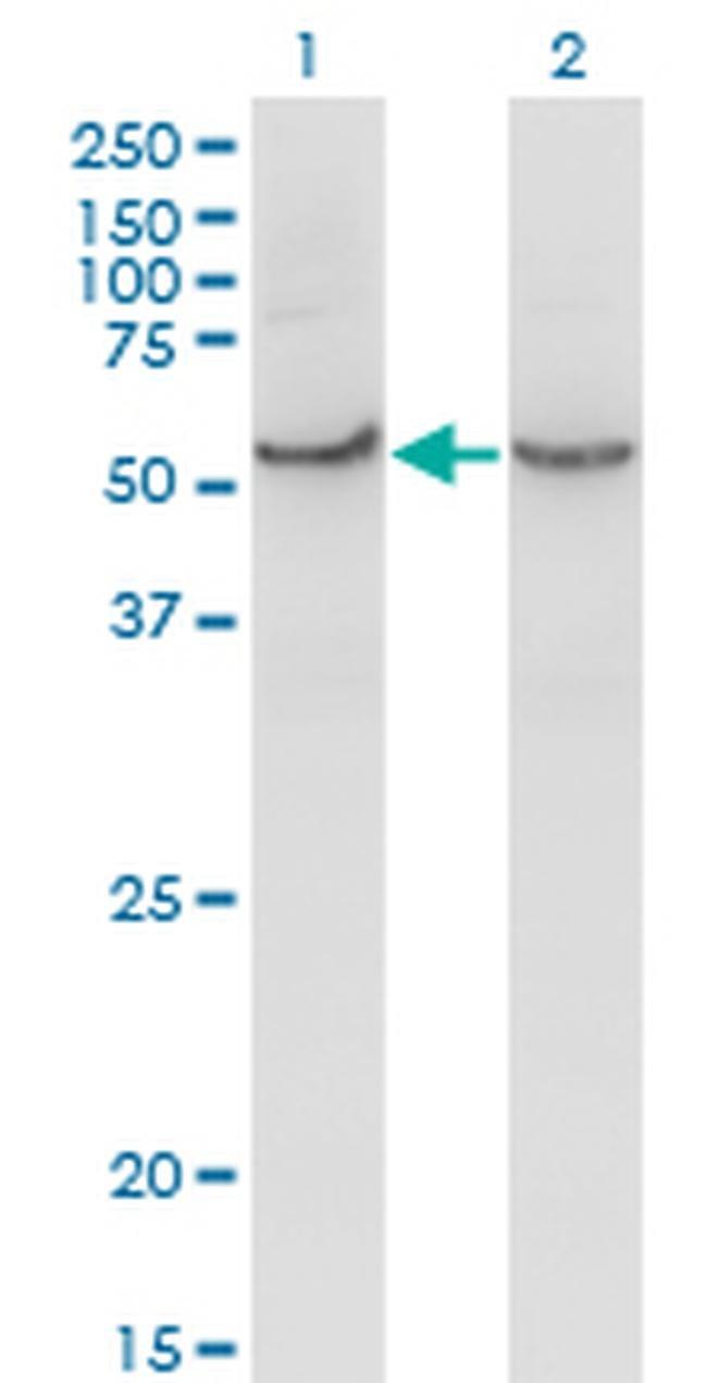 COX15 Mouse anti-Human, Clone: 2D2, Invitrogen 100 µg; Unconjugated