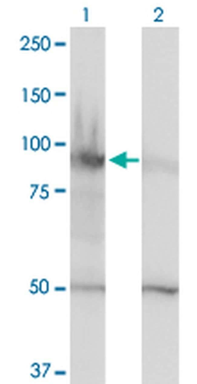 HELLS Mouse anti-Human, Clone: 1D10, Invitrogen 100 µg; Unconjugated