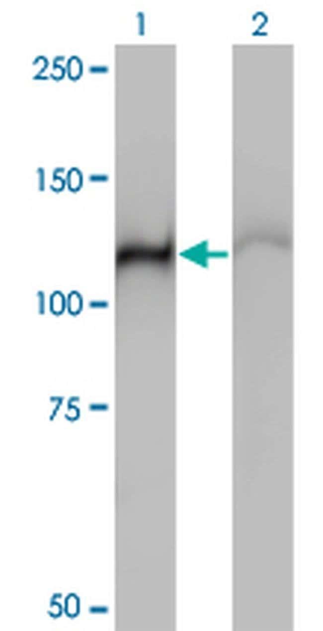 HSPA4 Mouse anti-Human, Clone: 3A11, Invitrogen 100 µg; Unconjugated