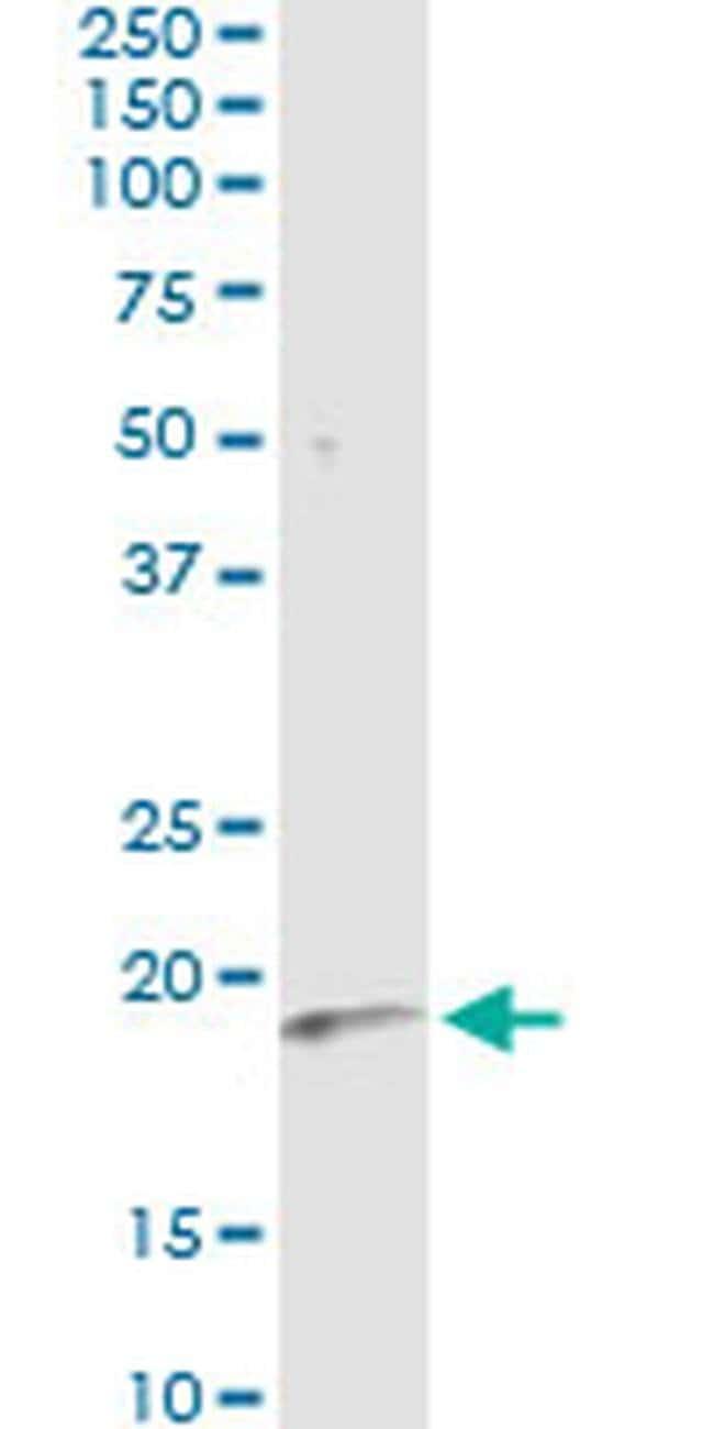 Interferon alpha-6 Mouse anti-Human, Clone: 3C9, Invitrogen 100 µg;