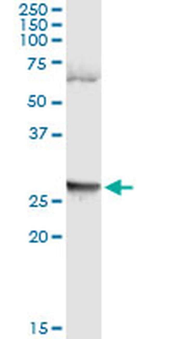 LFNG Mouse anti-Human, Clone: 4F8, Invitrogen 100 µg; Unconjugated