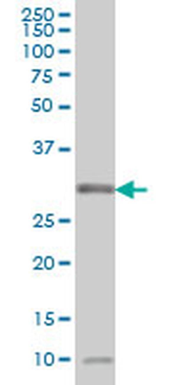 MPG Mouse anti-Human, Clone: 1G6, Invitrogen 100 µg; Unconjugated