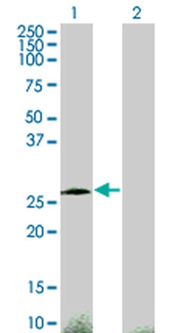 CITED1 Mouse anti-Human, Clone: 2H6, Invitrogen 100 µg; Unconjugated