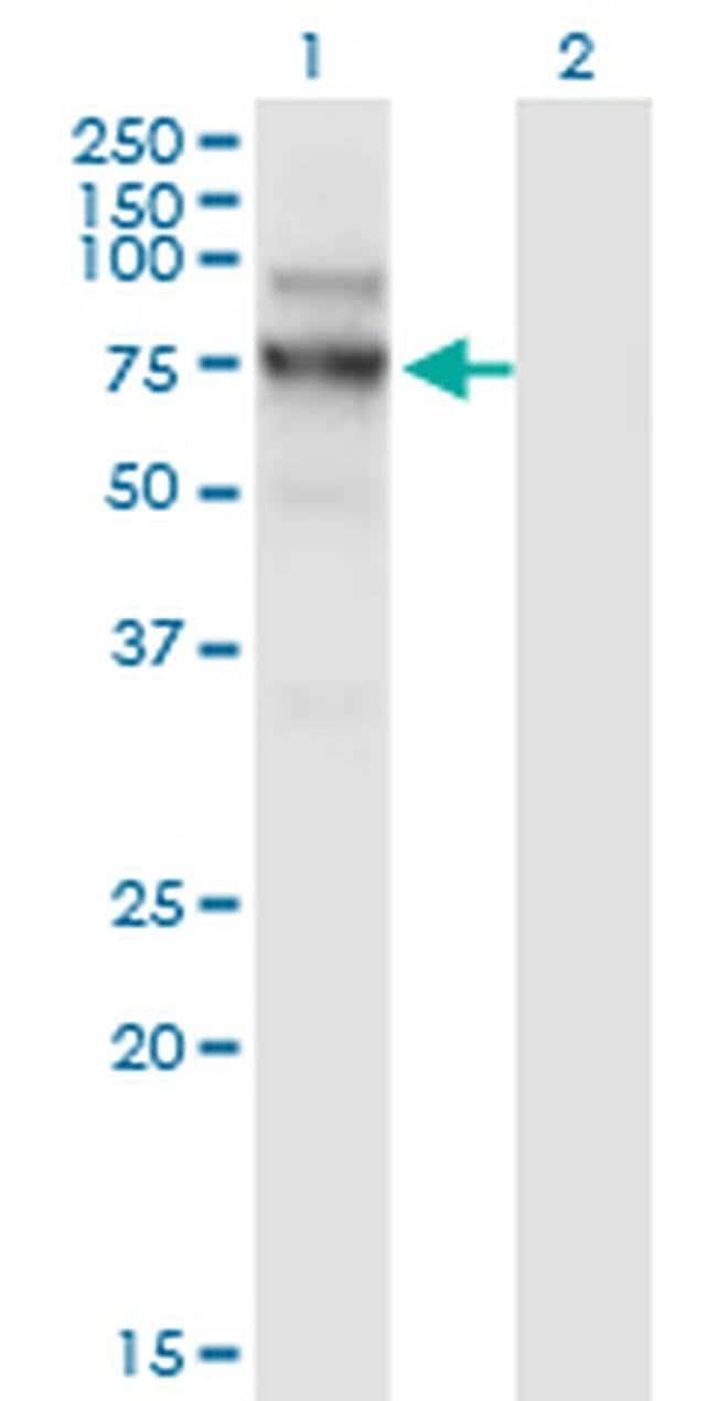 NVL Mouse anti-Human, Clone: 3F6, Invitrogen 100 µg; Unconjugated