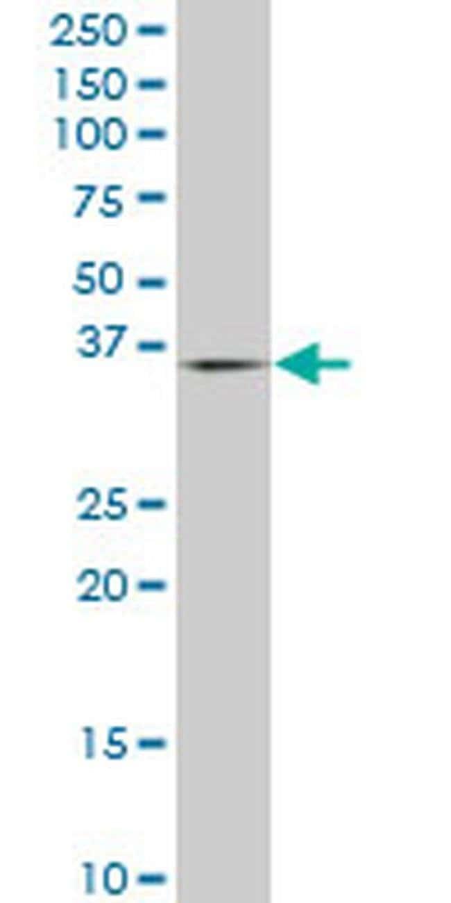 PURA Mouse anti-Human, Clone: 1D6, Invitrogen 100 µg; Unconjugated