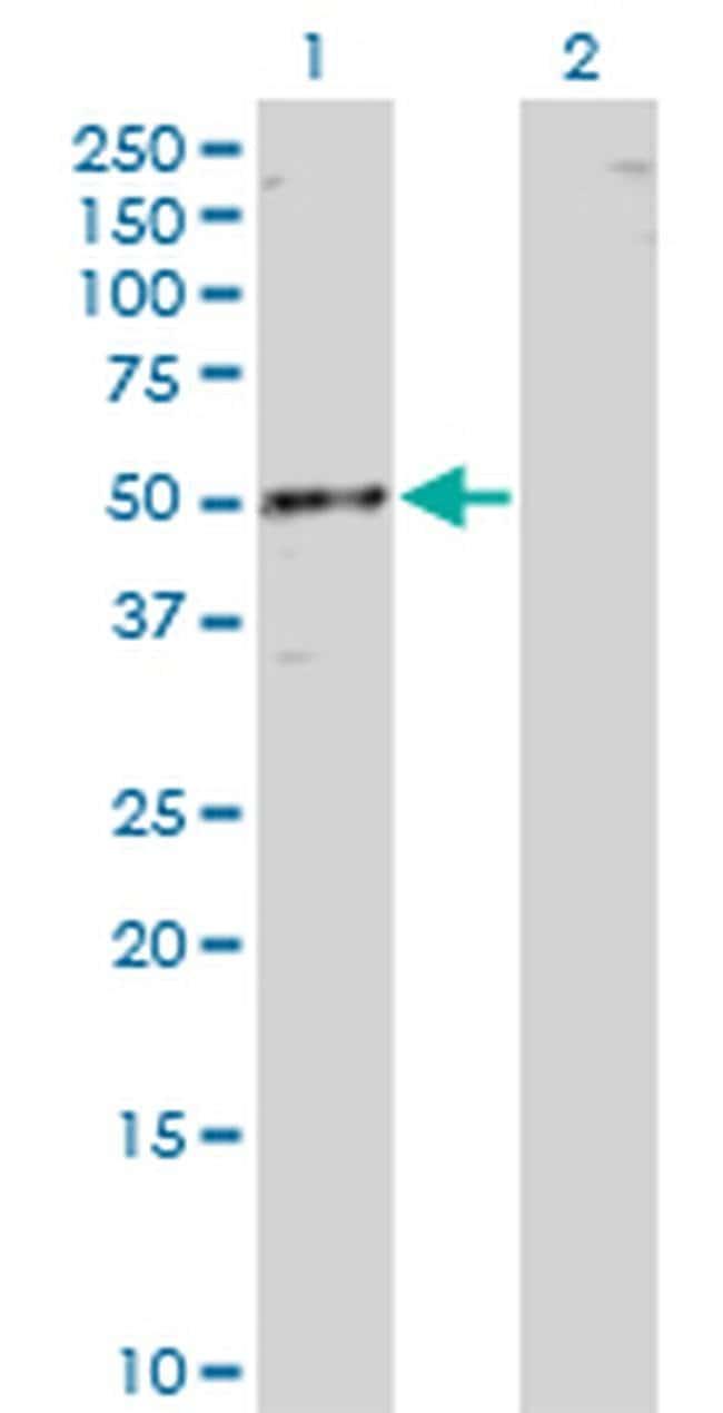RBMS1 Mouse anti-Human, Clone: 3F2-2G9, Invitrogen 100 µg; Unconjugated