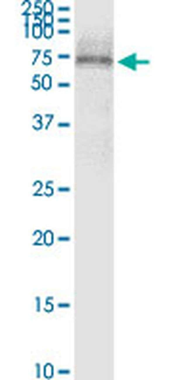 SCTR Mouse anti-Human, Clone: 3H1, Invitrogen 100 µg; Unconjugated