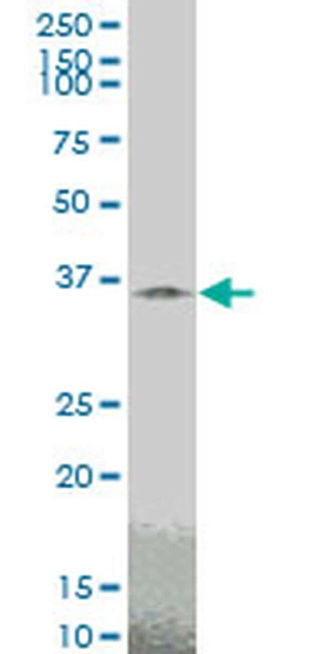 TAZ Mouse anti-Human, Rat, Clone: 2B3, Invitrogen 100 µg; Unconjugated