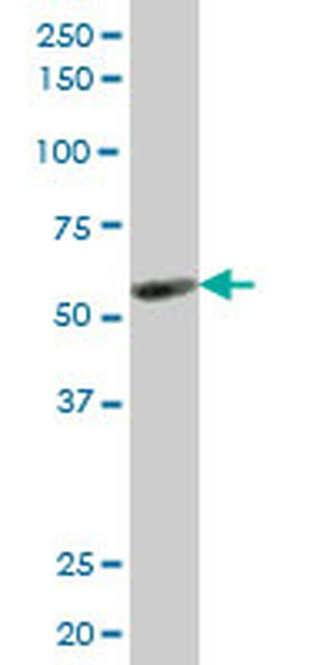 KLF10 Mouse anti-Human, Clone: 3E11, Invitrogen 100 µg; Unconjugated