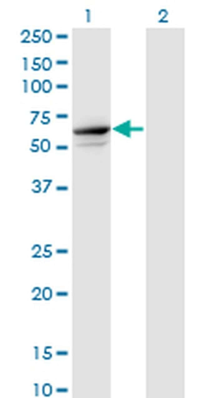 TRIM26 Mouse anti-Human, Clone: 1G3, Invitrogen 100 µg; Unconjugated